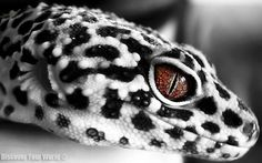 Black & White Leopard Gecko