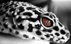 Black & White Leopard Gecko