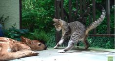 Aw, this kitten investigates and tries to play with a fawn on the porch.