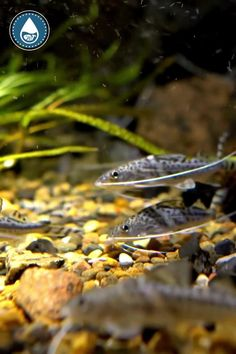 Tropical Freshwater Fish, Freshwater Aquarium, Tropical Fish, Dolphin Facts, Plecostomus, Mosquito Larvae, Water Facts, Body Scrubber, Brine Shrimp