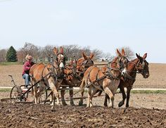 Amy Beyer of Elizabeth, Ill., plows with her dad's mules at the 2014 Durrant Plowing Weekend in Poplar Grove, Ill. Photo by Bob Mischka. 2015 Mule Calendar.  Courtesy: Rural Heritage. Cedar Rapids, IA (USA)