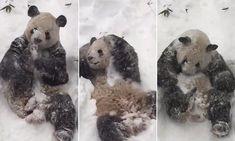 Smithsonian zoo's giant panda rolls adorably around in winter storm