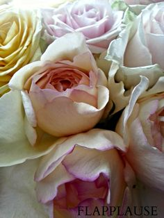 Pink Yves Piaget Roses. Order David Austin Roses and other scented roses online @ www.parfumflowercompany.com