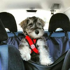Choose your Schnauzer or hoodie now⏩Check the link in @schnauzerworld profile! International shipping! ️ To be featured ⏩Follow us ⏩Choose your best photo ⏩Tag us #schnauzerworld Reposted from: @mobythesuperschnauzer