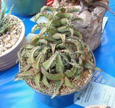 Aloe castilloniae - Google otsing