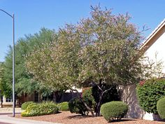 Chilopsis (Desert Willow Tree) - mature
