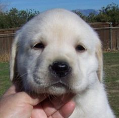 yellow Labrador Retrievers - white puppies/ isn't she just a doll?