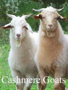 I would love to own a couple of cashmere goats - #maybesomeday