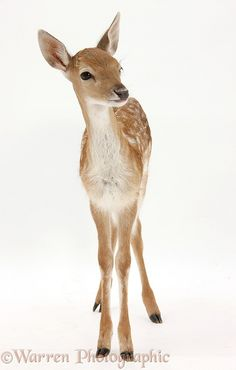 Photograph of Fallow Deer (Dama dama) fawn. Rights managed white background image. Deer Photos, Deer Pictures, Animal Pictures, Nature Animals, Woodland Animals, Animals And Pets, Fallow Deer, Mundo Animal, Baby Deer