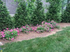 Thuja Green Giant and pink drift roses Arborvitae Landscaping, Privacy Landscaping, Front Yard Landscaping, Backyard Landscaping, Landscaping Ideas, Inexpensive Landscaping, Green Giant Tree, Green Giant Arborvitae, Growing Tree
