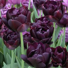 Spring.  Tulip 'Black Hero'
