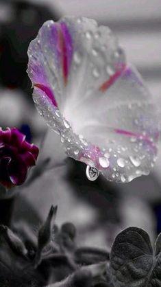 Black And White Color Splash Photography 23305 Water Drop Photography, Splash Photography, Nature Photography, Photography Flowers, Beautiful Flowers Wallpapers, Beautiful Roses, Pretty Flowers, Color Splash Photo, Fotografia Macro