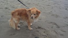Buddy at Lincoln City, OR August 2012