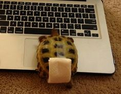 Make a diaper for your tortoise to wear around the house. - Atta Boy! Animal Care #attaboyanimalcare www.attaboyanimalcare.com