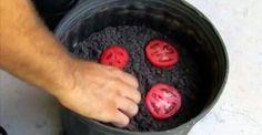 tomaten kweken van plakjes overrijpe tomaat
