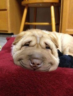 Dog, or the happiest lump of wrinkly fur you've ever seen?