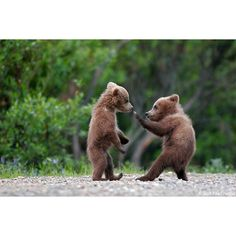 Grizzly Bear Cubs photos ❤ liked on Polyvore featuring pictures, animals, green, backgrounds and photos