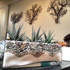 Zebra cactus (Haworthia attenuata) in glass planter with sand and pebbles