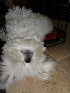 Upside down Maltese