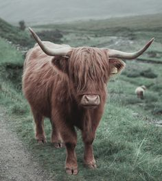 I love furry cows!