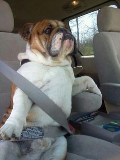 Bully thinks he is people. Why do I find dogs buckled in so amusing??
