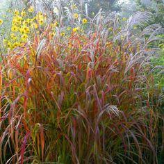 Miscanthus sinensis Roter Pfeil jesienią