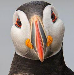 Atlantic Puffin - Papagaio do Mar