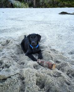 Beach lab.  #puppygram #puppy #labgram #whatthestick #beachtime #blacklabrador #labpuppy #instapuppy #teamcanon #canon5dmarkiii #5dmarkiii #5d #canonphotography @lagunabeach_memories @lagunabeachcom @lagunabeachgov @lagunabeachmagazine @lt.dan_thedog