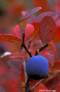 Bog Blueberry, Denali National Park, Alaska