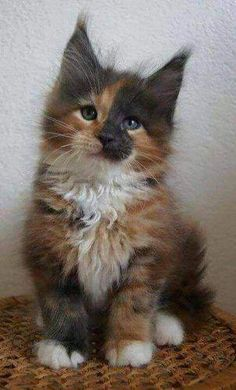 Excellent Images cool cat breeds Strategies Cats using big ears could end up being probably the most adorable pets while in the world. These special stresses in wh Cute Kittens, Cute Baby Cats, Cute Baby Animals, Kittens And Puppies, Funny Animals, Pretty Cats, Beautiful Cats, Animals Beautiful, Maine Coon Kittens