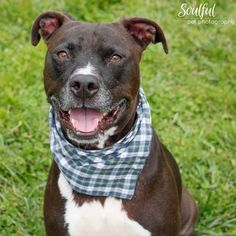 Update Oct 2015: ADOPTED! Foster Fail! Hi, I'm Jackson, a sweet and gentle Black Labrador Retriever/Staffordshire Terrier mix. I'm about 6 years old. I enjoy chasing a ball, long naps, snuggling and affection. The volunteers said I'm a well-rounded, mellow addition to your family. I'm a lucky guy, I went from being one of the longest term residents at the shelter, and sponsored, to a successful foster fail.