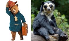 Real-life Paddingtons in peril: They're from darkest Peru, do VERY hard stares and are almost as adorable as the childhood favourite. But they're facing a not-so happy ending...