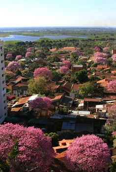 Lapacho is the national tree and it gives a special color to Asuncion   Paraguay (by César Gallardo)