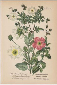 1880s Antique FLOWERS print