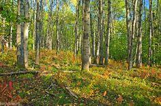 Alder and birch forest near Fairbanks, Alaska.
