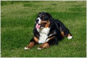 rose01 Bell Rose, Jingle Bells, Puppies, Dogs, Animals, Bernese Mountain Dogs, Doggies, Pictures, Animais