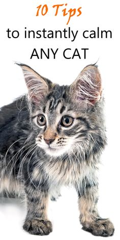 There are a few techniques, which aren't rocket-science but will enable you to calm almost any cat, in almost any situation. It doesn't matter what… Cat Care Tips, Pet Care, Pet Tips, Calming Cat, Chesire Cat, Cat Hacks, Kitten Care, Funny Cats And Dogs, Cat Health