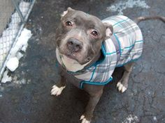 ★❥★  SAFE 3/21/15 by  All Breed Rescue, Vermont ★❥★ Manhattan Center   BALOO aka BLUE - A1028315  *** AVERAGE HOME ***  MALE, GRAY, PIT BULL MIX, 2 yrs, 6 mos STRAY - STRAY WAIT, NO HOLD Reason STRAY  Intake condition UNSPECIFIE Intake Date 02/19/2015,  https://www.facebook.com/photo.php?fbid=967434216602791