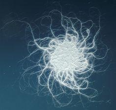 Bacillus mycoides #microscopic #biology