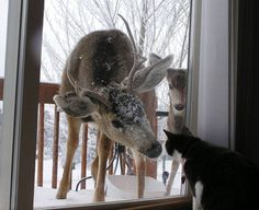 Tuxedo Kitty greeting Deer friends at the door.