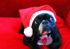 """Ho. Ho.....Ho?"" Confused French Bulldog in Santa Hat."