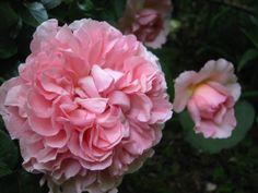 Radio Times Own Root English Rose at Linda's Long Ago Roses