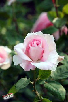 Hybrid Tea Rose 'Grand Siecle'