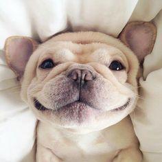 french bulldog smiling