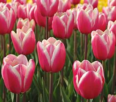 Tulip Jumbo Beauty  This aptly named May bloomer will impress you with its overall size and sturdy stems. Crisp white edges frame the bright pink petals for a contrast that really stands out in the garden.