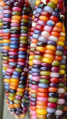 Glass Gem Corn Popcorn Open Pollinated 110 Days ears of strikingly beautiful, translucent, rainbow colored corn. Perfect for making cornbread, popcorn, Colorful Fruit, Exotic Fruit, Fruit And Veg, Fruits And Vegetables, Rainbow Corn, Colored Corn, Glass Gem Corn, How To Make Cornbread, Popcorn Seeds
