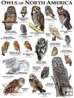 Burrowing Owl, Barred Owl, Northern Spotted Owl, Western Screech Owl, Elf Owl, Owl Species, Animal Species, Saw Whet Owl, Strix Nebulosa