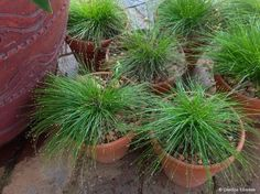 Isolepis cernua (Fibre Optic Grass) Backyard Fun, Grass, Plants, Herbs, Backyard