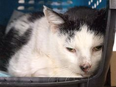 FETA - A1105662 - - Manhattan  ***TO BE DESTROYED 03/15/17***  4 YR OLD FETA WAS BROUGHT IN WITH HER TWO OLDER KITTENS – SHE IS SAD FROM BEING DUMPED HERE AND WOULD LOVE A KIND CAT PURRSON TO ADOPT HER TODAY!!  SHE IS PERFECTLY HEALTHY AND ALREADY SPAYED – READY FOR YOU TO SAVE HER LIFE TONIGHT! -  Click for info & Current Status: http://nyccats.urgentpodr.org/feta-a1105662/