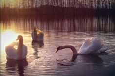 The three white swans from White Swans A Regency World